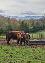 Two Red Angus Bulls In A Field Next To A Feeding Pen