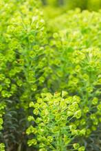 Euphorbia Flowers With Ladybirds