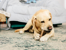 Labrador Chews Bone