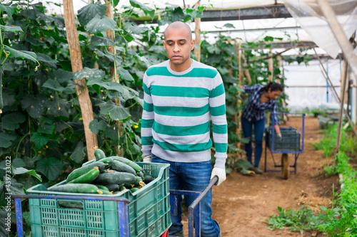 Fotografia, Obraz Confident hispanic horticulturist carrying handcart with crop of organic cucumbe