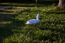Duck Walking On The Grass At Sunset