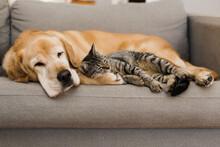 Labrador Sleeping With A Cat