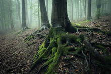 Giant Roots With Green Moss In Mysterious Forest