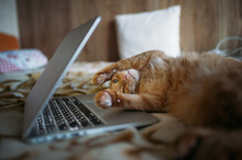 Ginger Cat Working On The Bed With Laptop