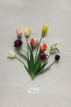 Mixed Tulips Placed On Cotton Surface