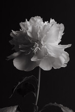 Peony In Black And White.