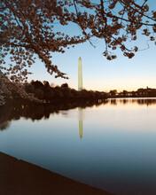 Cherry Blossoms Framing The Washington Monument
