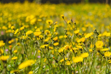 Field Of Little Yellow Flowers