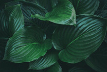 Beautiful Plant Background Of Hosta Leaves