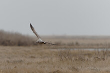 Beautiful Montagu's Harrier Flying Over The Fields On A Gloomy Day