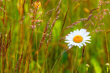 Oxeye Daisy Flower And Grass Straw On A Meadow