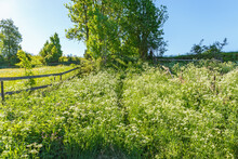 Footpath Through A Meadow With Cow Parsley