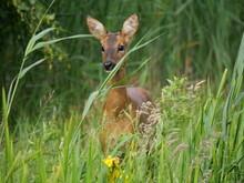 Roe Deer Enjoys Eating Berries