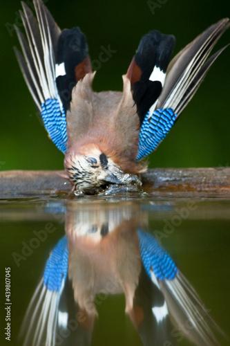Gaai, Eurasian Jay, Garrulus glandarius Fototapet