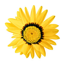 Gazania Rigens, Yellow Treasure Flower, Isolated On White Background, With Clipping Path