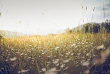 Summer Meadow Landscape. Sunshine, Wildflowers Blurred Background, Bokeh