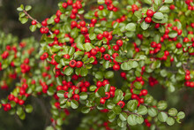 Green Pyracantha Bush With Small Red Berries