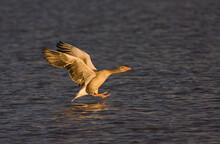 Greylag Goose, Grauwe Gans, Anser Anser