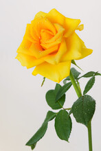 Yellow Rose On A Stem With Green Leaves On A White Background