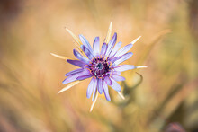 Closeup Of A Wild Purple Flower In A Sunny, Golden Field With A Blurred Background