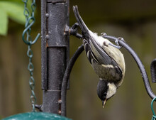 Closeup Of A Phoebe Bird Hanging Upside Down From A Metal Fence In A Garden On A Sunny Day