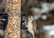 Viewers Can See The Black Seed In The Beak Of This Adorable Little Tufted Titmouse As It Enjoys A Snack From The Missouri Backyard Feeder.
