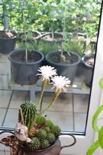 Selenicereus Grandiflorus Kaktus In Blüte