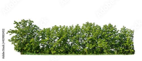 Vászonkép Green trees isolated on white background