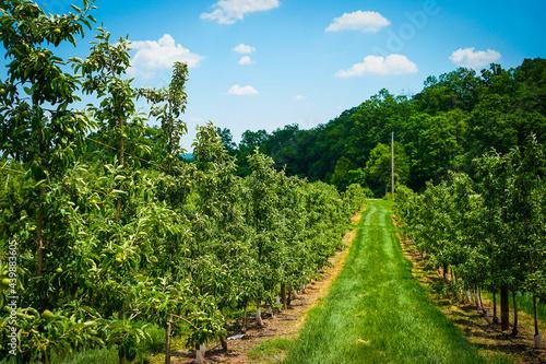 Obraz na plátně Apple trees on a fruit farm