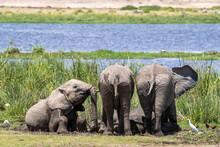 Youn Elephants Wallow In Mud In The Marshes Of Amboseli, Kenya