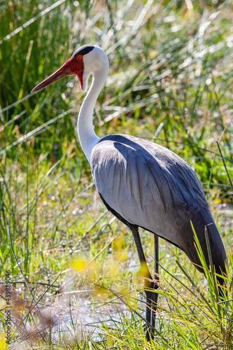 Fototapeta premium Wattled Crane - Okavango Delta - Botswana