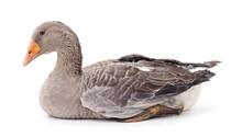 Beautiful Gray Goose.