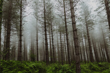 Tall Trees With Misty Background