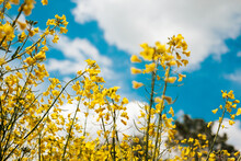 Canola (Rapeseed) Yellow Flowers On Spring Fields With Blue Sky
