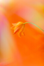 Orange Tulip And Light Beams