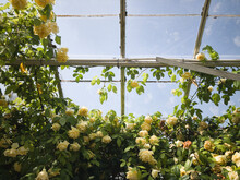 Large Yellow Rose Growing Inside A Greenhouse. UK