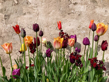 Fresh Tulips And Wallflowers Growing In An English Garden In Spring. UK.