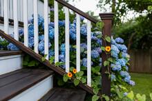 Hydrangea Blooms In Backyard Garden