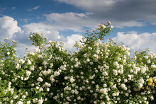 Large Bush Of White Roses Against A Blue Sky With Clouds