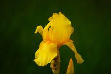 A Yellow Iris After A Rain Shower