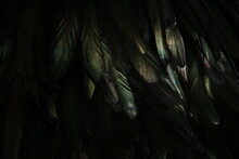 Abstract Background Of Dark Feathers, Rainbow Highlights On The Plumage