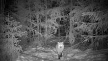 Red Fox With Glowing Eyes Enters A Snowy Forest Glade At Night Sniffs Around