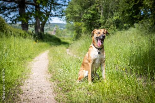 Fotografia A black mouth cur - breed in the field
