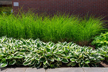 Green And White Variegated Hostas And Tall Maiden Grass Miscanthus Sinensis Gracillimus Provide Texture, Contrast And Low Maintenance  In This Large Commercial Landscaping Project.