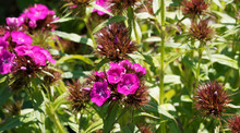 Dianthus Barbatus Or Sweet William. Cluster Of Flowers With Deep Pink Petals With Serrated Edges At The Top Of Stems
