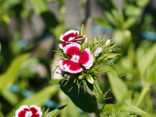 Dianthus Barbatus Or Sweet William. Cluster Of Flowers With Two-tone Petals, Pink And White With Serrated Edges At The Top Of Stems