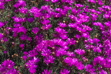 Blooming Ground Cover. Trailing Hardy Iceplant. Daisy-like Iceplant Flowers. Delosperma In Bloom
