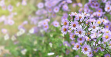 Close On Bush Of Aster  Flowers  Blooming In Garden On Blur Background