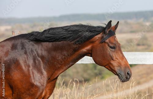 Fotografie, Obraz Bay holsteiner horse walking outside on a sunny day