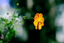 Londrina, Brazil - May 2021: Cosmos Flowers Are Daisy-like, With Ray Florets Surrounding The Central Disc Of Florets In A Shallow Cup. Here We Have The Plant In An Abstract Background.